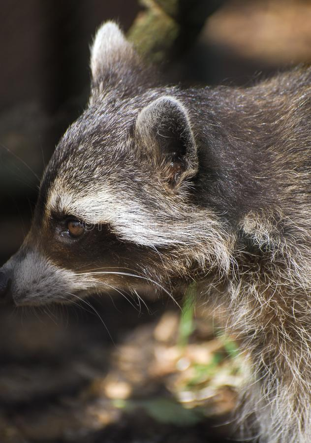 Close up face picture of a Raccoon. Portrait of a Male Raccoon stock image