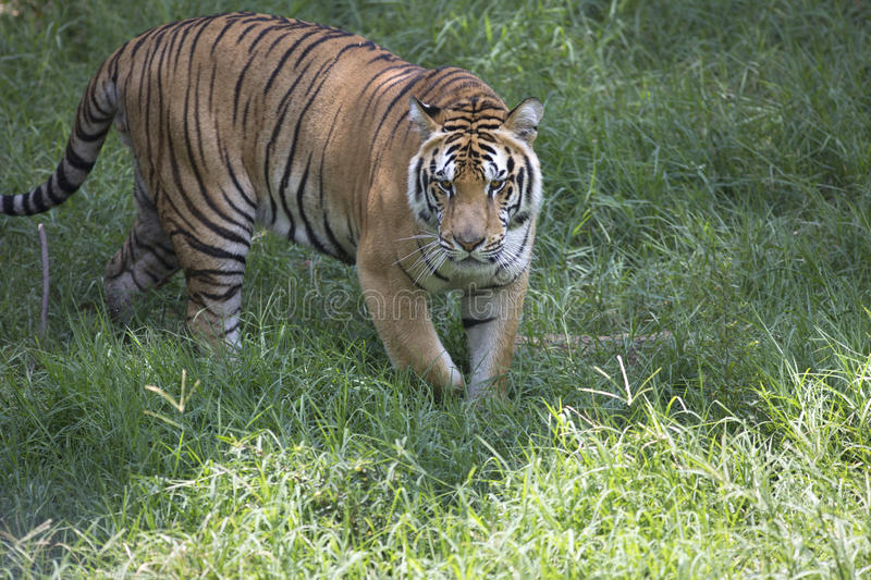 Portrait of male wild tiger. Iun action royalty free stock image