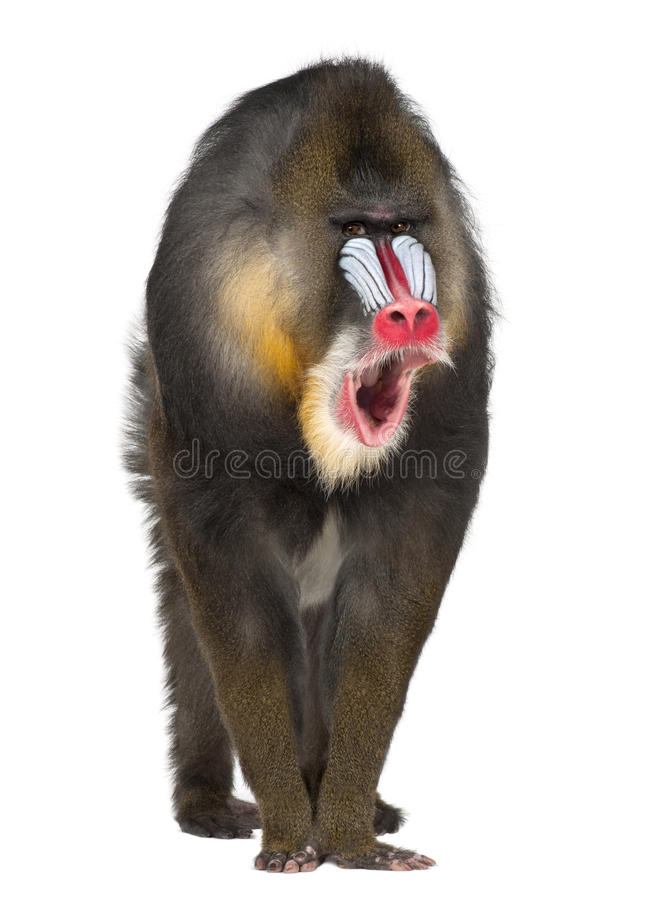 Portrait of Mandrill, Mandrillus sphinx. 22 years old, primate of the Old World monkey family against white background royalty free stock image