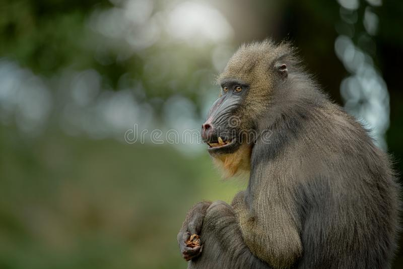 Close up of Mandrill monkey. Portrait of Mandrill monkey in Africa with blurry background royalty free stock photo