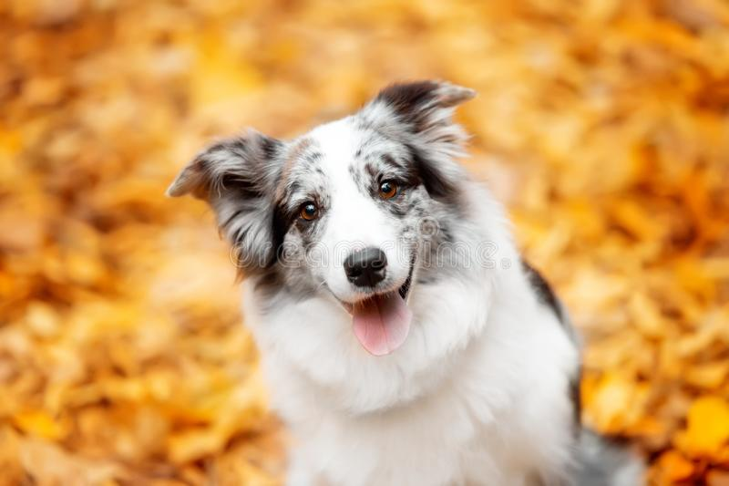 Portrait marble border collie dog sitting with leaves in autumn, portrait royalty free stock photography