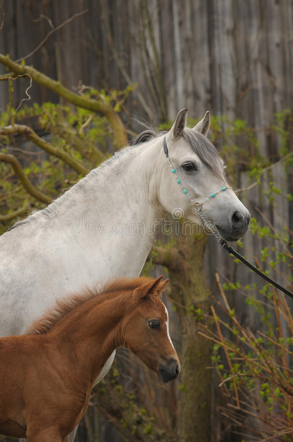 Portrait of mare with foal stock images