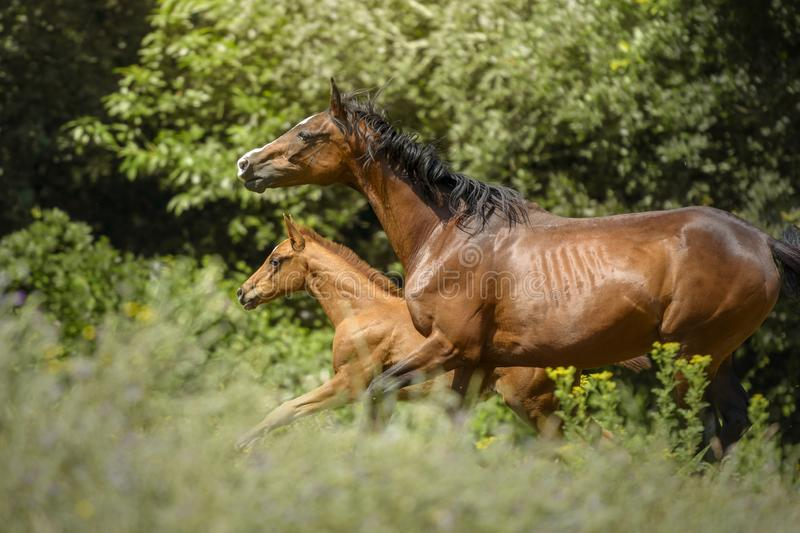 Portrait of a mare and her foal running together stock photography