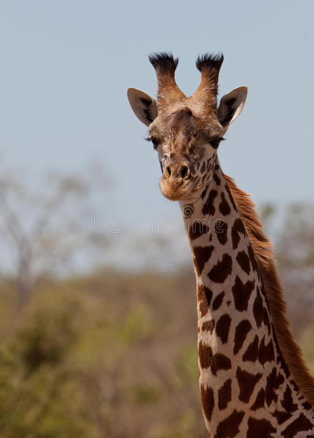 Portrait of a Masai Giraffe stock photo