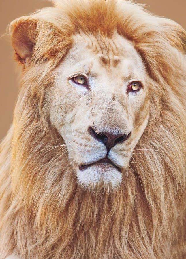 Portrait masculin blanc de lion image stock