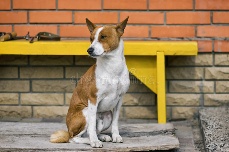 Portrait of mature Basenji dog sitting near threshold of the house he lives stock image