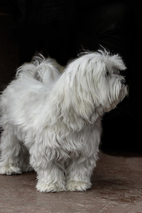 Dog portrait adult Maltese white color look royalty free stock images