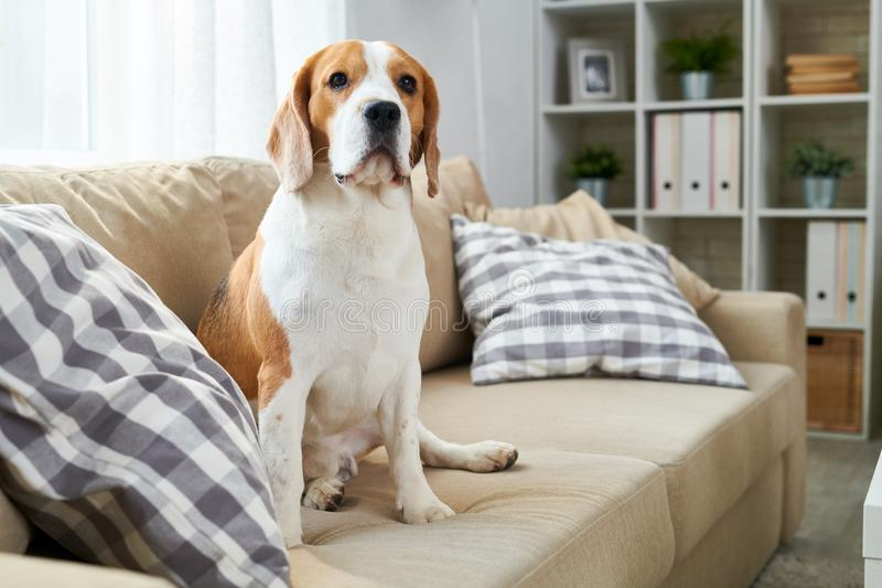Big Friendly Dog on Couch stock photo