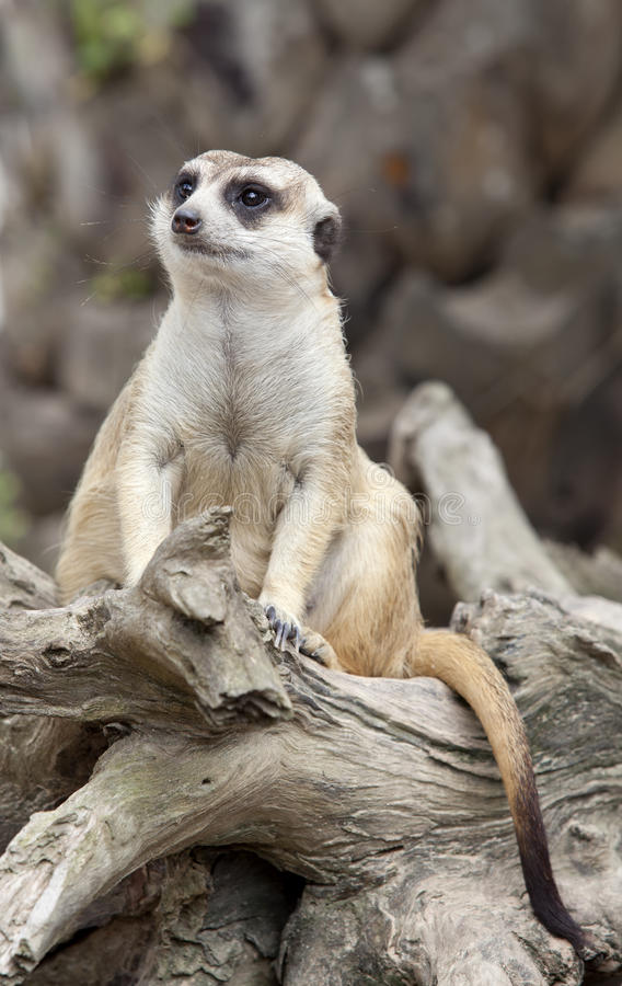 Portrait of meerkat royalty free stock images