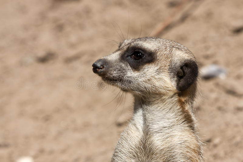 Download Portrait of a meerkat stock image. Image of suricatta - 39505143