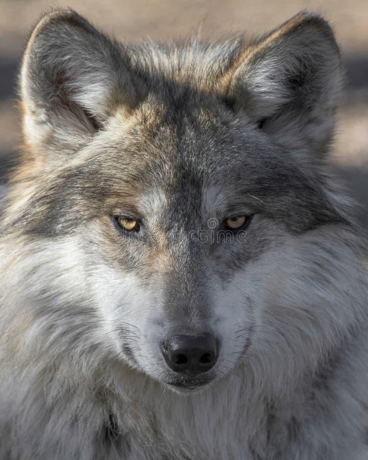 Portrait mexicain de plan rapproché de loup gris images libres de droits