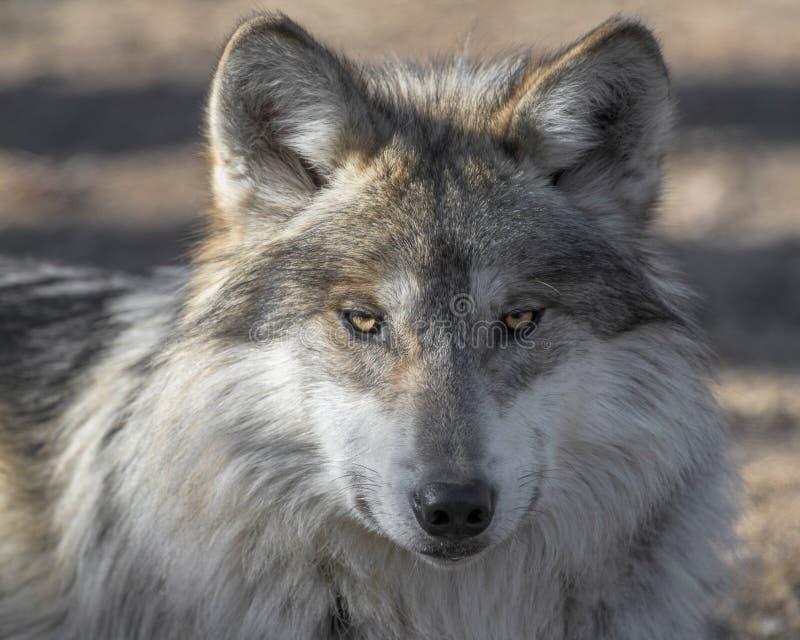 Portrait mexicain de plan rapproché de loup gris image libre de droits