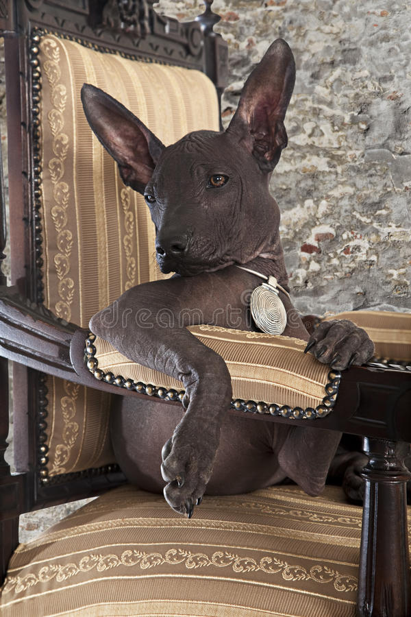 Portrait of Mexican xoloitzcuintle puppy