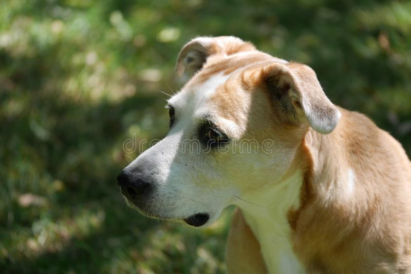 Beagle Mix Dog Glances to the Distance in Yard Portrait royalty free stock image