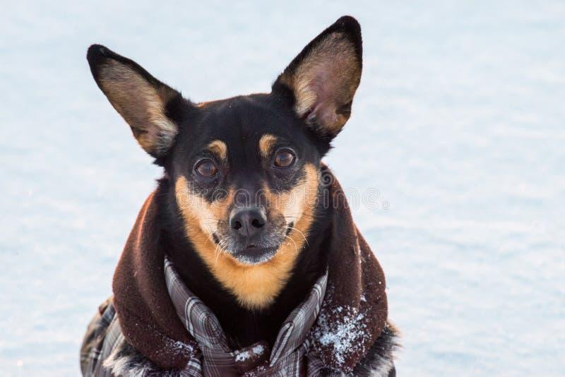 Portrait mignon de chien en hiver image libre de droits