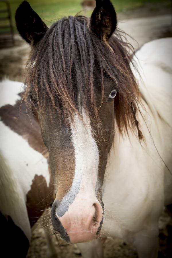 Portrait mignon de poney photographie stock libre de droits