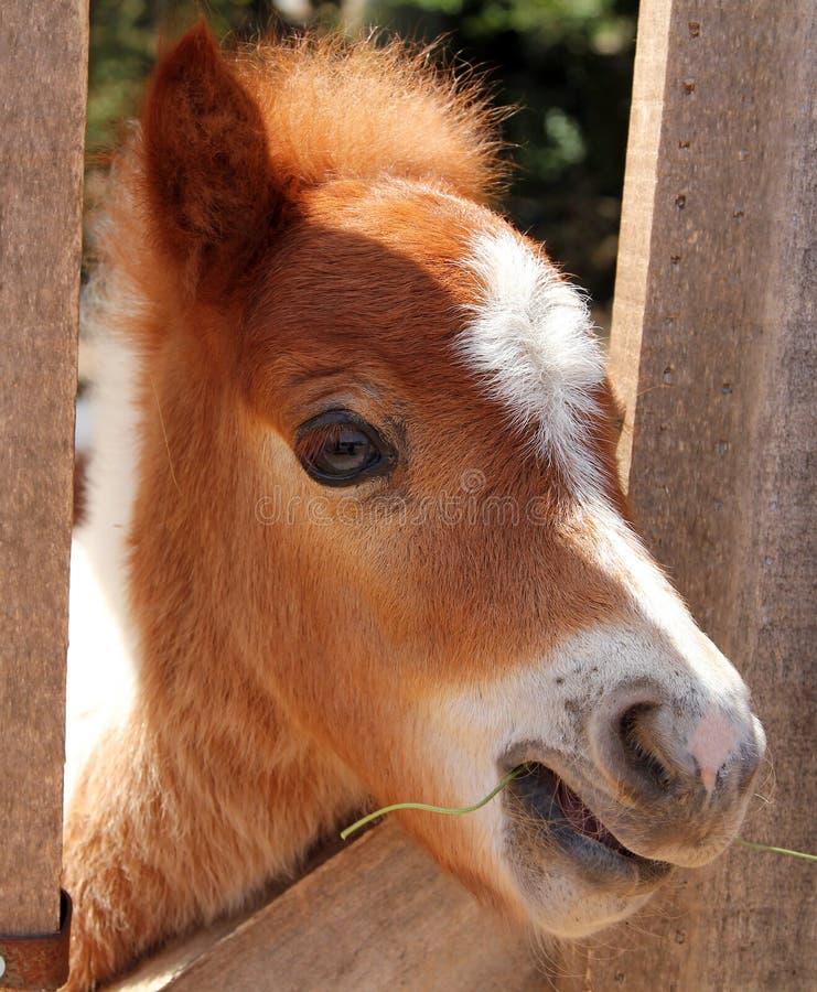Portrait of Miniature horse. Closeup vv stock photos