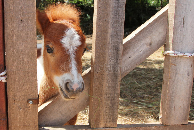 Portrait of Miniature horse. Closeup vv royalty free stock photography