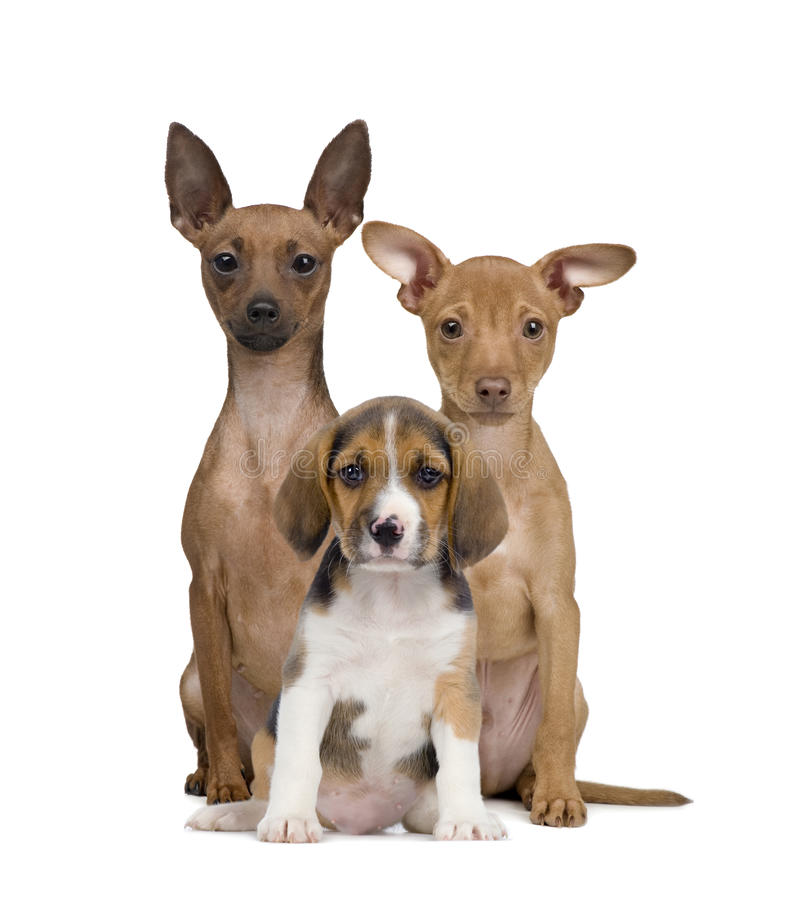 Portrait of Miniature Pinschers and Beagle puppy stock photos