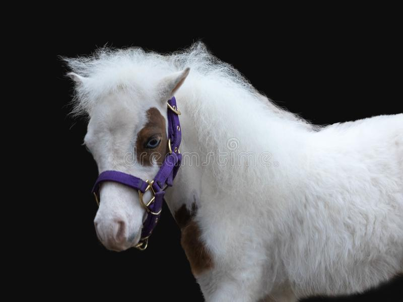 Portrait of a miniature pony  of white color with blue eyes and a fluffy mane. The black background is i royalty free stock image