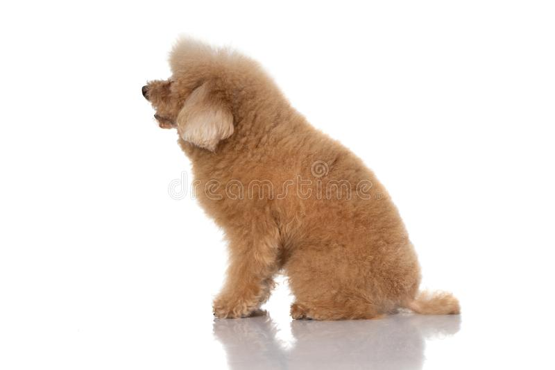 Miniature poodle dog. Portrait of miniature poodle dog on white background stock images