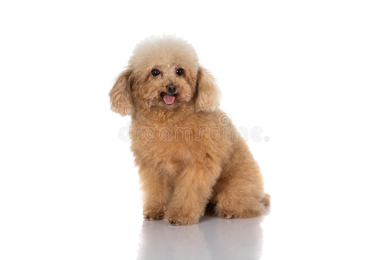 Miniature poodle dog. Portrait of miniature poodle dog on white background stock photography