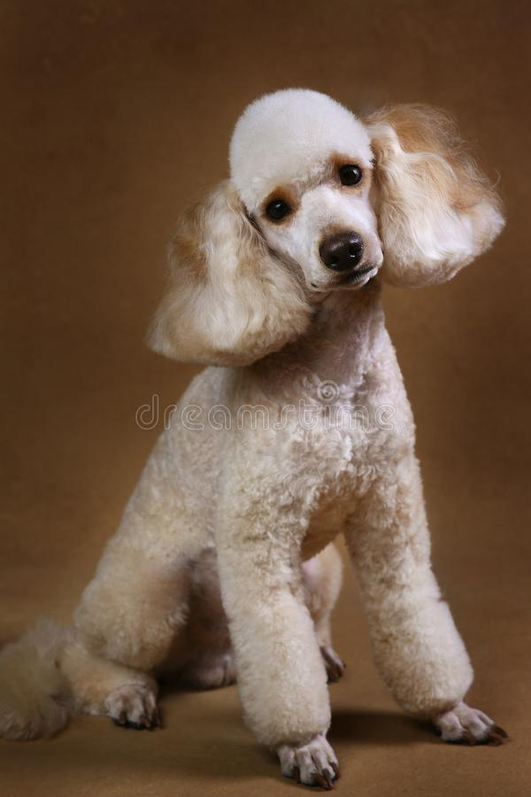 Studio shot of miniature poodle dog on brown background. Portrait of miniature white poodle dog sitting on brown background in studio looking at camera royalty free stock photo