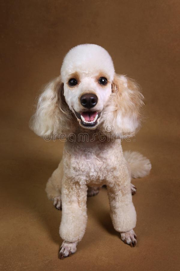Studio shot of miniature poodle dog on brown background. Portrait of miniature white poodle dog sitting on brown background in studio looking at camera royalty free stock photography