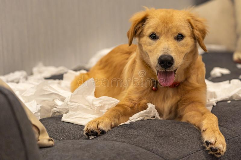 Portrait of naughty golden dog laying on tissue at sofa royalty free stock photos