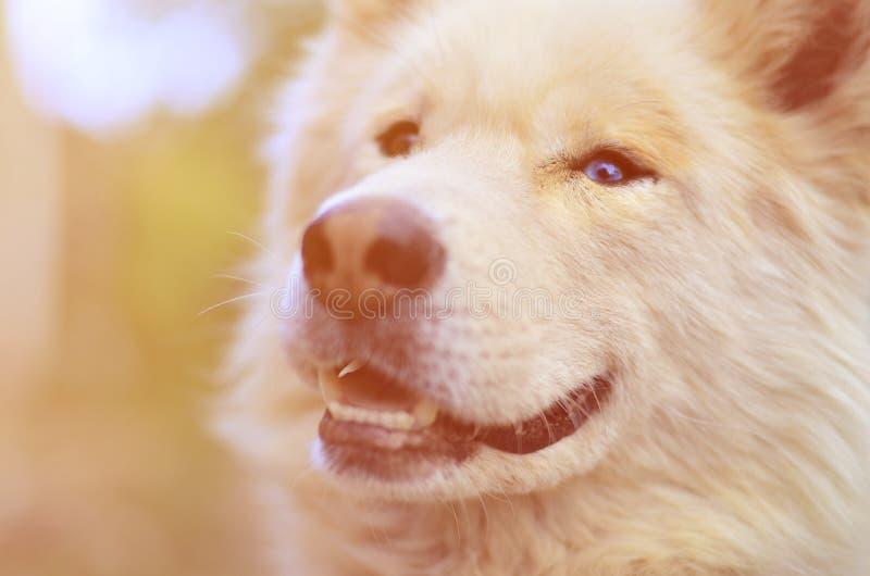 Portrait modifié la tonalité du chien enroué de Samoyed sibérien blanc avec le heterochromia un phénomène quand les yeux ont diff photo stock