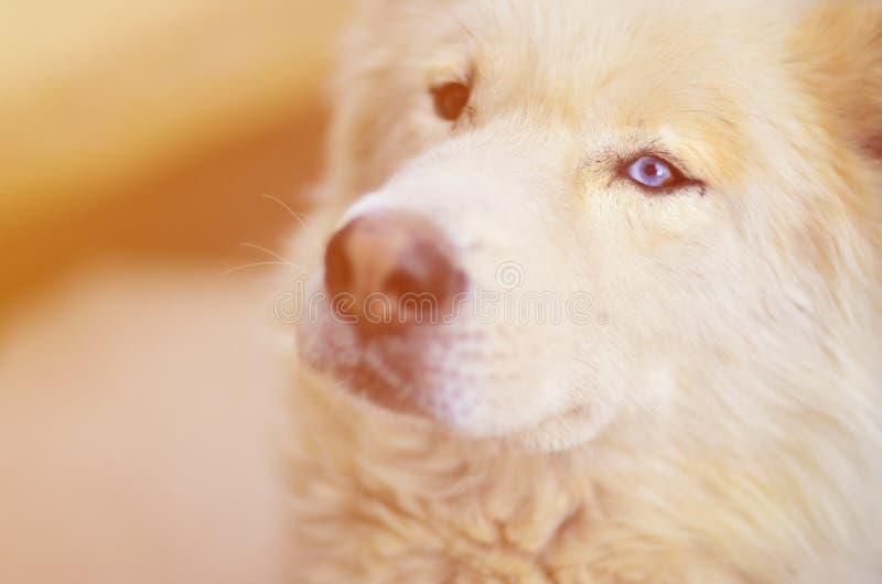 Portrait modifié la tonalité du chien enroué de Samoyed sibérien blanc avec le heterochromia un phénomène quand les yeux ont diff photos stock