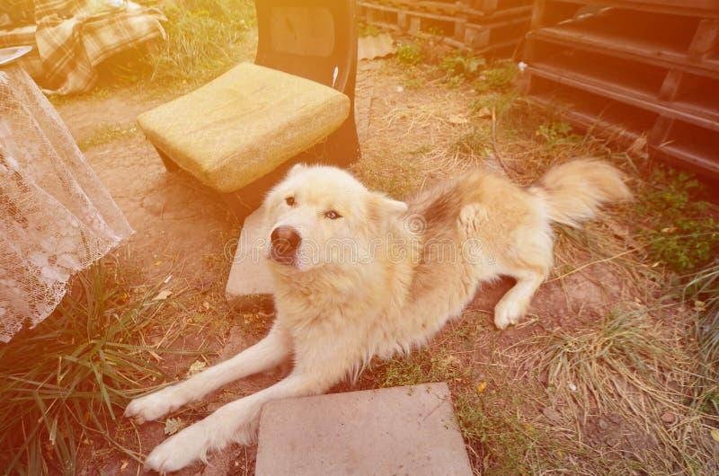Portrait modifié la tonalité du chien enroué de Samoyed sibérien blanc avec le heterochromia un phénomène quand les yeux ont diff image libre de droits