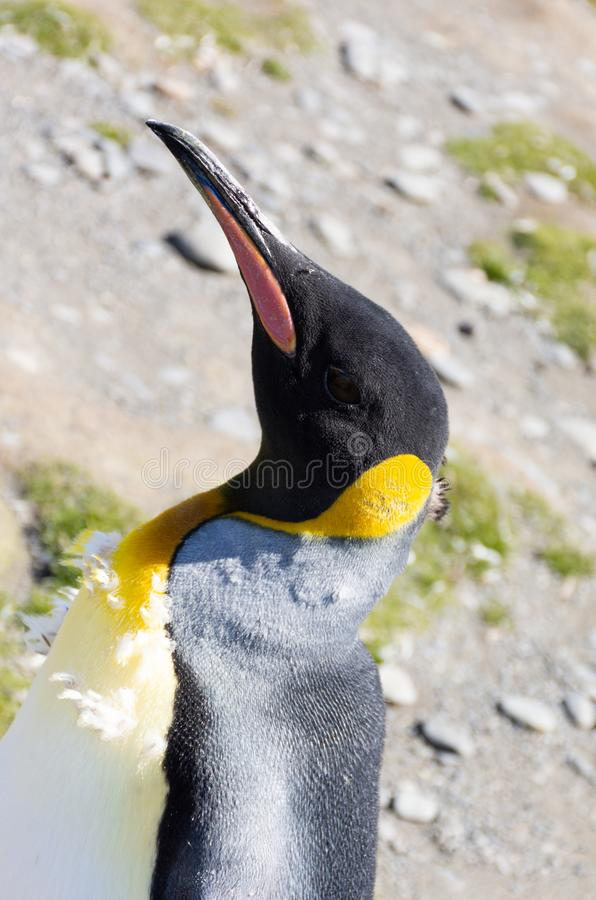 Portrait of a Molting King Penguin at an Angle stock photo