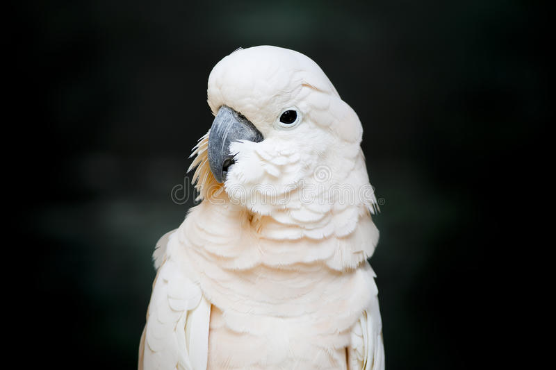 Portrait of a Moluccan Cockatoo (Cacatua moluccensis), or Salmon royalty free stock photos