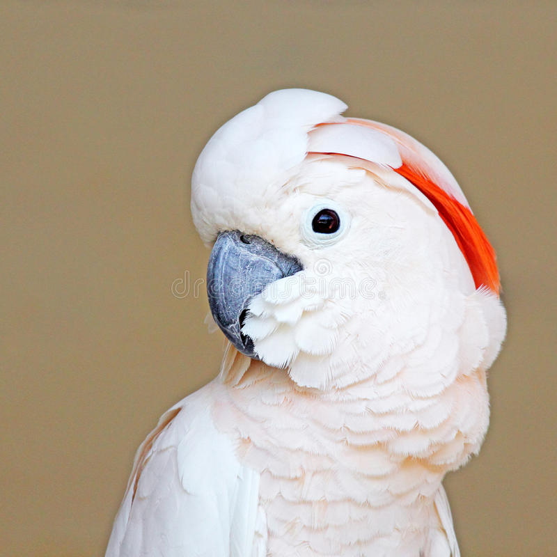Portrait of a Moluccan Cockatoo on uniform background royalty free stock image
