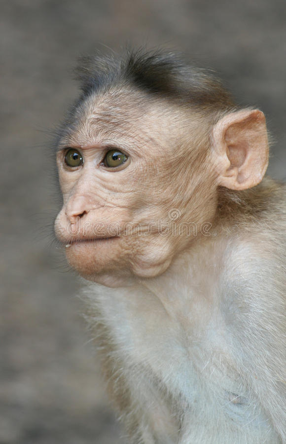 Download Portrait of monkey stock photo. Image of staring, closeup - 11852268