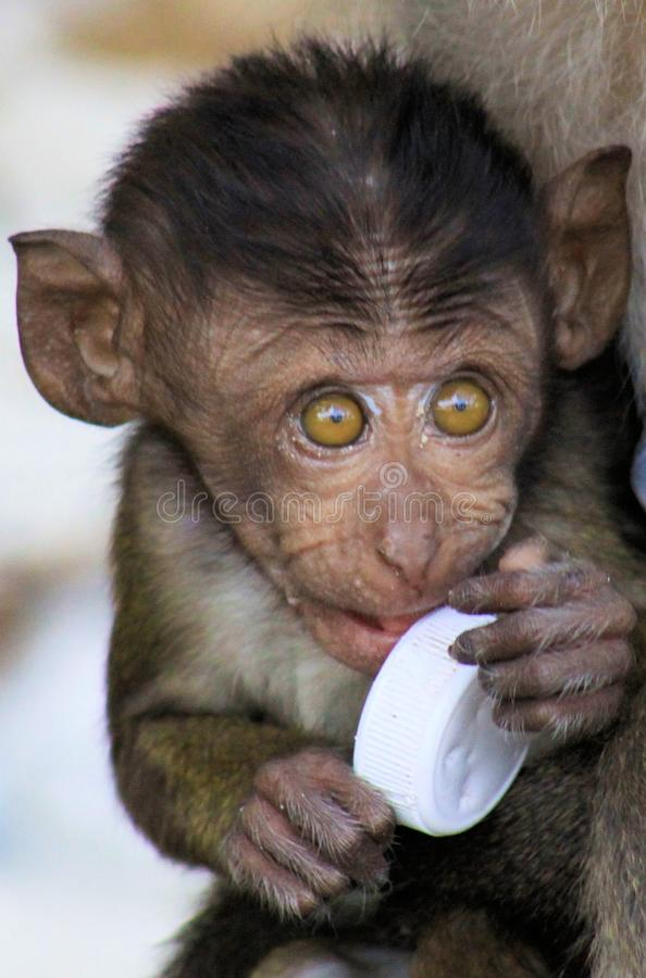 Portrait of monkey baby crab-eating long-tailed Macaque, Macaca fascicularis with big eyes playing with plastic trash stock image