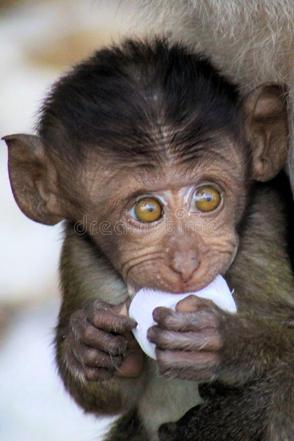 Portrait of monkey baby crab-eating long-tailed Macaque, Macaca fascicularis with big eyes playing with plastic trash stock images