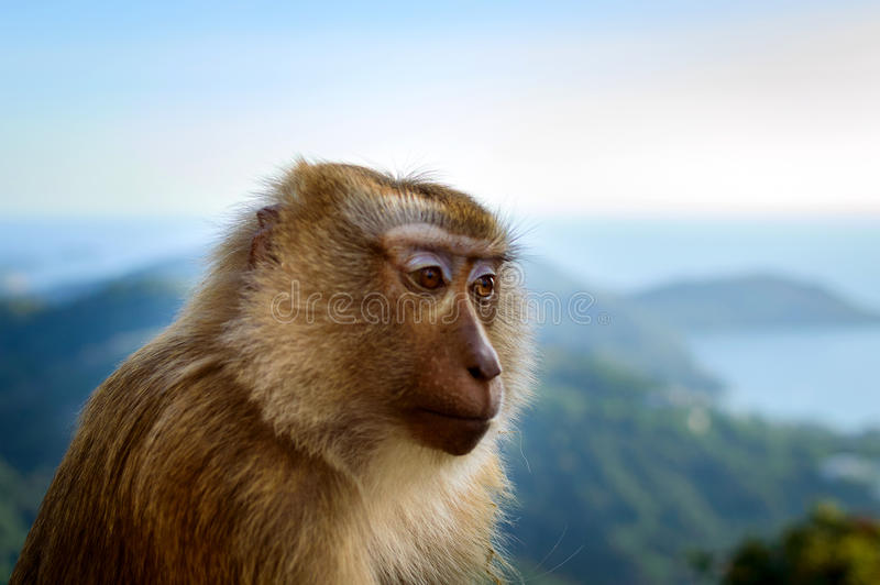 Portrait of monkey face by the the blue sky and mountains background royalty free stock photos