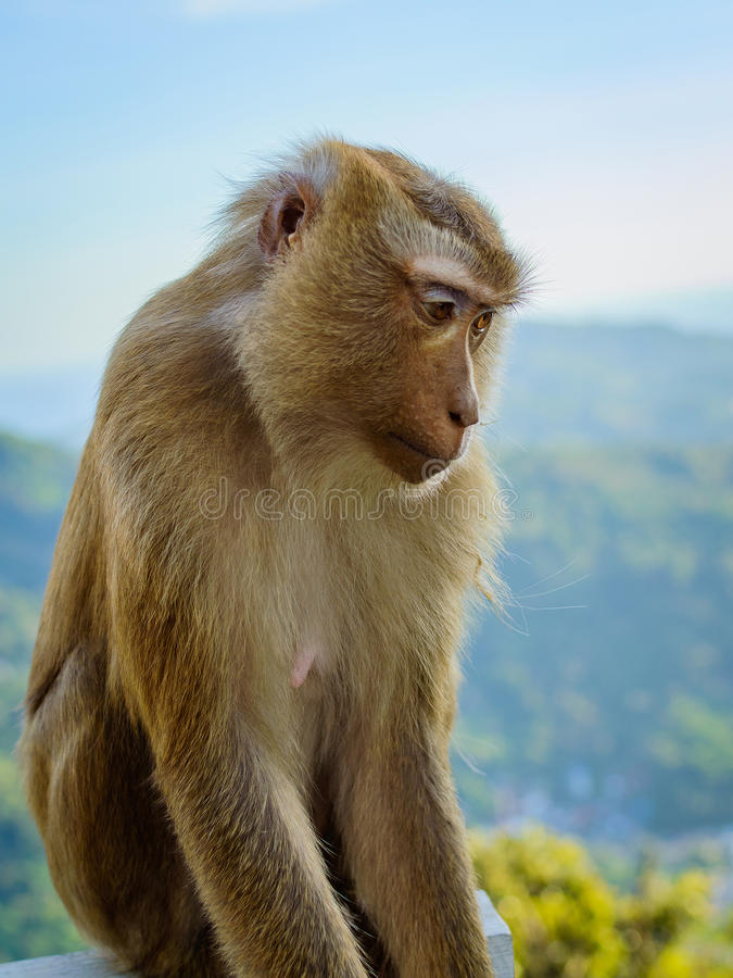 Portrait of monkey face by the the blue sky and mountains background stock image