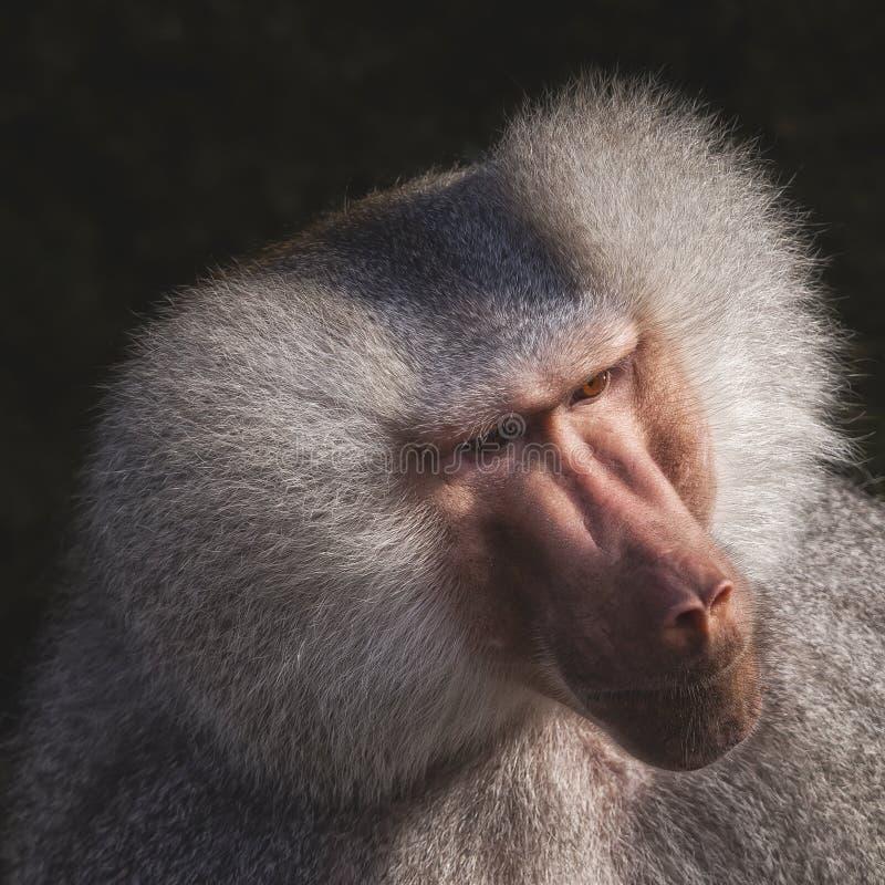 Portrait of a monkey. Head shot of an portrait of a monkey stock photography