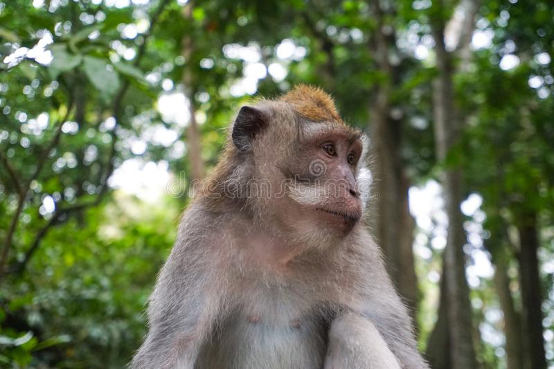 Portrait of Monkey male relax sit on the rock in forest, Monkey Forest Ubud, Bali, Indonesia royalty free stock image