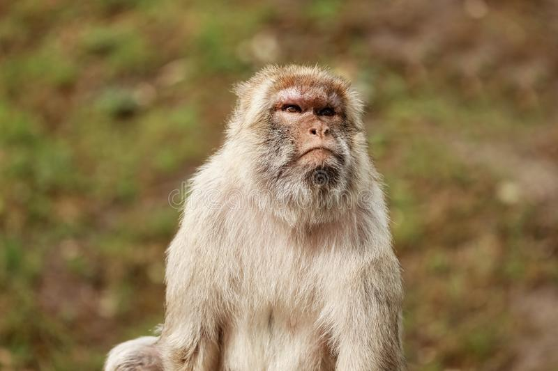 Portrait of a monkey in the park. Wild monkey family at sacred monkey forest. monkeys live in a wildlife environment stock images