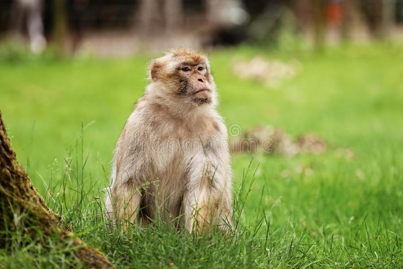 Portrait of a monkey in the park. Wild monkey family at sacred monkey forest. monkeys live in a wildlife environment royalty free stock image