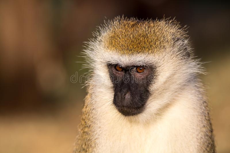 The portrait of a monkey in the savannah of Kenya. A portrait of a monkey in the savannah of Kenya royalty free stock photo