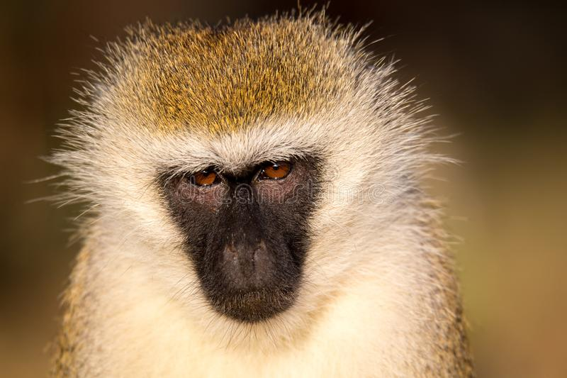 The portrait of a monkey in the savannah of Kenya. A portrait of a monkey in the savannah of Kenya stock photos
