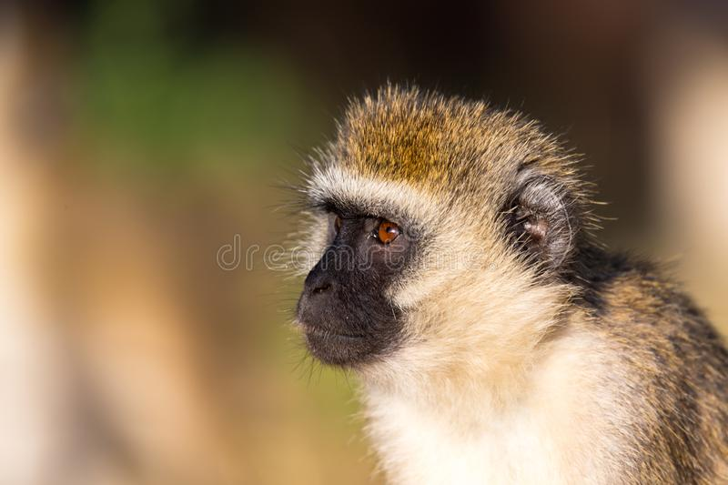 The portrait of a monkey in the savannah of Kenya. A portrait of a monkey in the savannah of Kenya stock photography