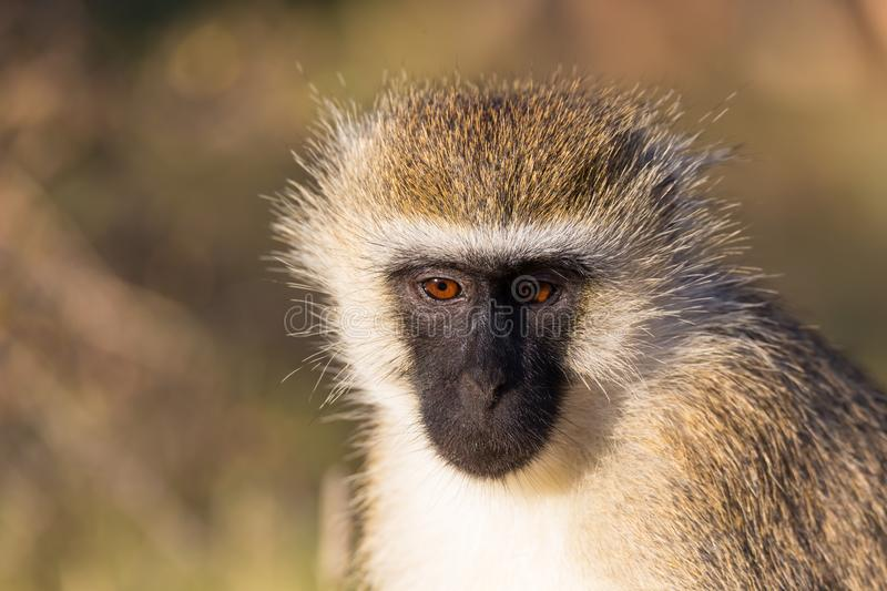 The portrait of a monkey in the savannah of Kenya. A portrait of a monkey in the savannah of Kenya stock images