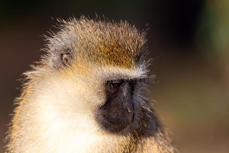 The portrait of a monkey in the savannah of Kenya. A portrait of a monkey in the savannah of Kenya royalty free stock images