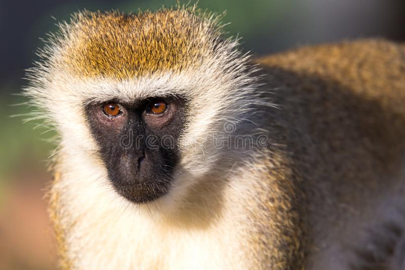 The portrait of a monkey in the savannah of Kenya. A portrait of a monkey in the savannah of Kenya stock photo